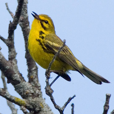 Prairie Warbler photo by Peter Kondrashov