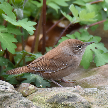 House Wren photo by Margy Terpstra