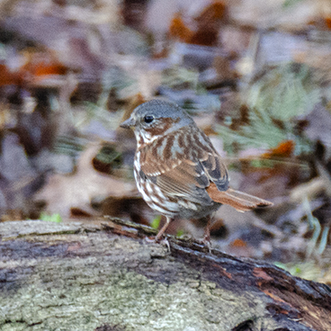 Fox Sparrow photo by Margy Terpstra