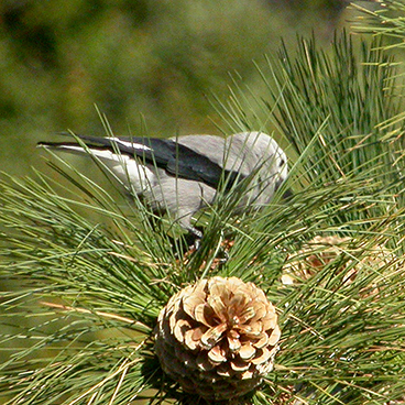 Clark's Nutcracker photo by Margy Terpstra
