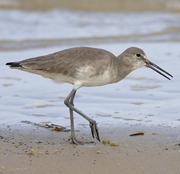 Willet photo by Peter Kondrashov