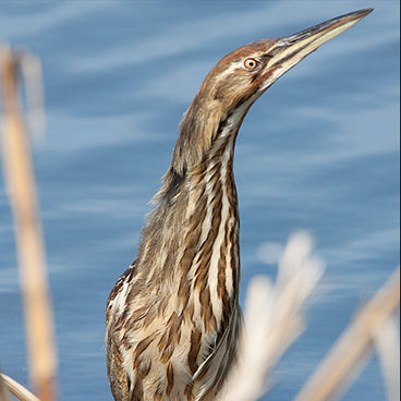 American Bittern photo by Peter Kondrashov