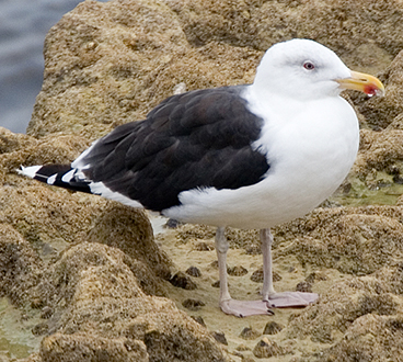 Great Black-backed Gull photo by Peter Kondrashov
