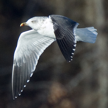 Lesser Black-backed Gull photo by Peter Kondrashov