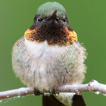 Ruby-throated Hummingbird photo by Peter Kondrashov