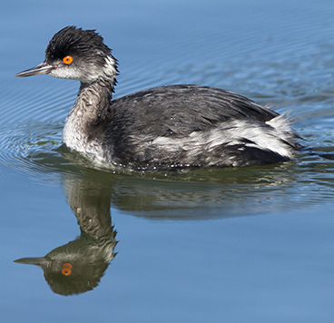 Eared Grebe photo by Peter Kondrashov