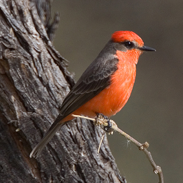 Vermilion Flycatcher photo by Peter Kondrashov