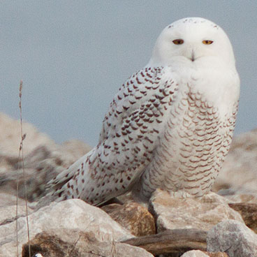 Snowy Owl photo by Peter Kondrashov