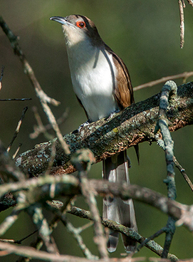 Black-billed Cuckoo photo by Peter Kondrashov