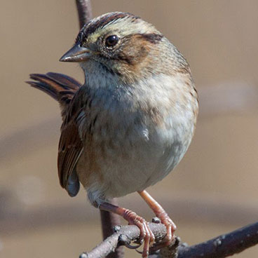 Swamp Sparrow photo by Peter Kondrashov