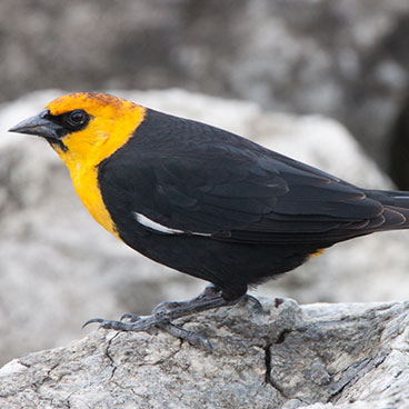 Yellow-headed Blackbird photo by Peter Kondrashov