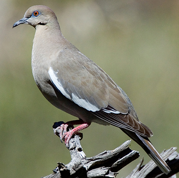 White-winged Dove photo by Peter Kondrashov