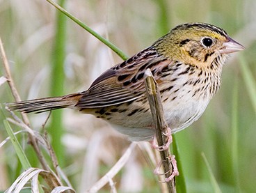 Henslow's Sparrow photo by Peter Kondrashov