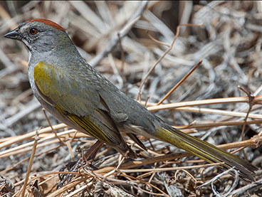 Green-tailed Towhee photo by Peter Kondrashov