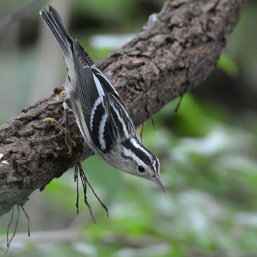 Black-and-white Warbler photo by Andy Reago/Chrissy McClarren
