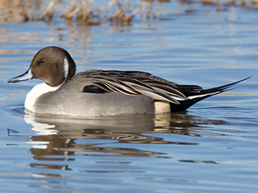 Northern Pintail photo by Peter Kondrashov