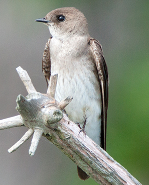 Northern Rough-winged Swallow photo by Peter Kondrashov