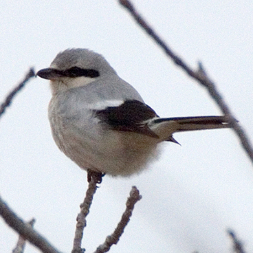 Northern Shrike photo by Peter Kondrashov