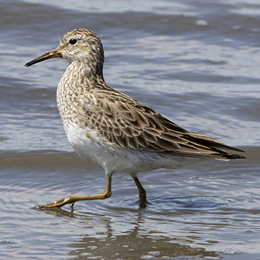 Pectoral Sandpiper photo by Peter Kondrashov
