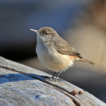 Rock Wren photo by Doug Hommert