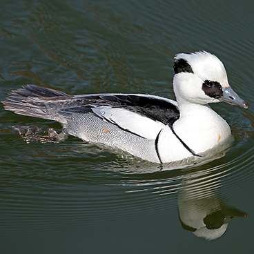 Smew photo by Doug Hommert