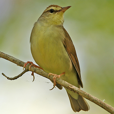Swainson's Warbler photo by Doug Hommert