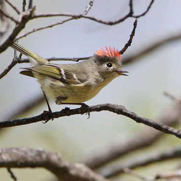 Ruby-crowned Kinglet photo by Al Smith