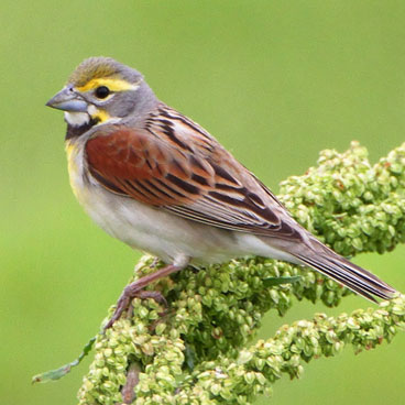 Dickcissel photo by Al Smith