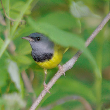 Mourning Warbler photo by Al Smith