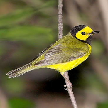 Hooded Warbler photo by Al Smith