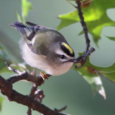 Golden-crowned Kinglet photo by Al Smith