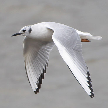 Bonaparte's Gull photo by Al Smith