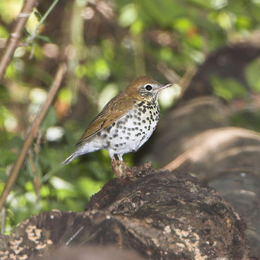 Wood Thrush photo by Al Smith