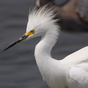 Snowy Egret photo by Al Smith