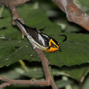 Blackburnian Warbler photo by Al Smith