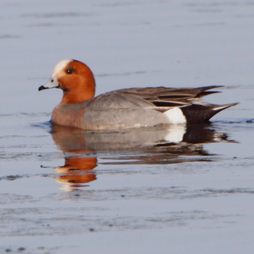 Eurasian Wigeon photo by Allen Smith