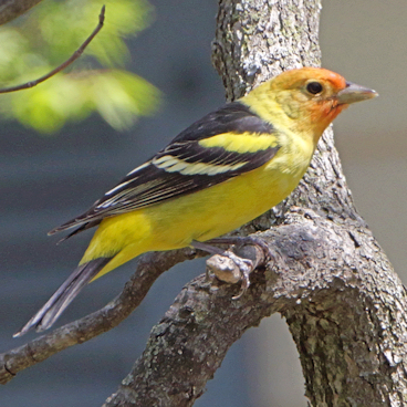 Western Tanager photo by Allen Smith