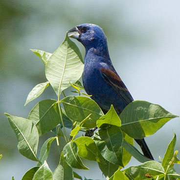 Blue Grosbeak photo by Peter Kondrashov
