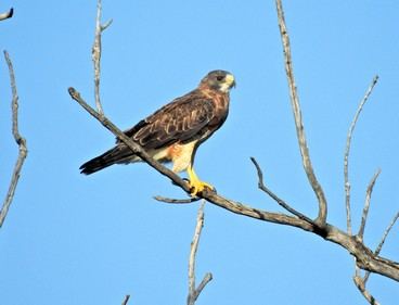 Swainson's Hawk photo by Evelyn Luecke