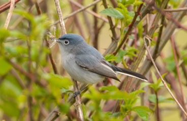 Blue-gray Gnatcatcher photo by James Gorski